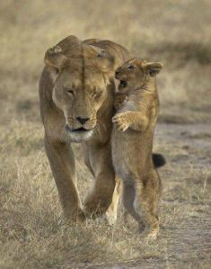 lion talk