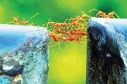 ant bridge