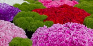 carnations 62913   bunches