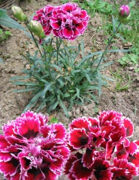 CARNATIONS 62913 Edible Garden Flowers Carnations